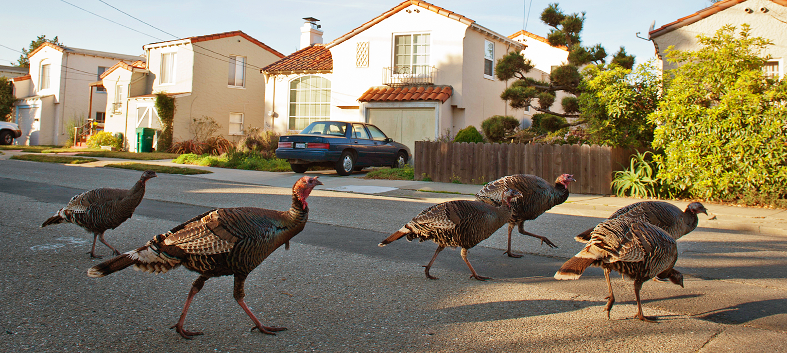 Albany wild turkeys corssing the street